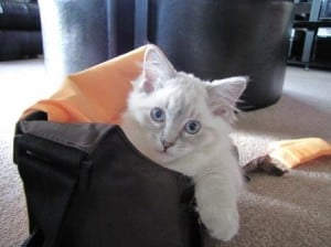 Schiska (Blue Lynx Colorpoint kitten) in the camera case (owned by Sharon de Vos)