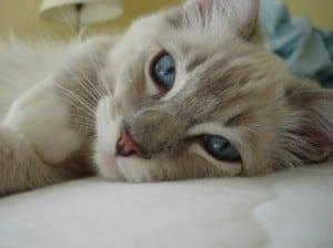 Trigg, a Blue Lynx Mitted Ragdoll