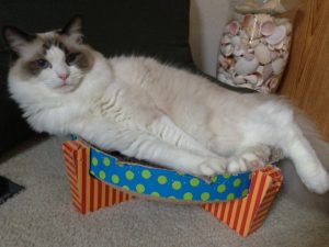 Sparkle, a Seal Bicolor Ragdoll, loved by Liz Broussard