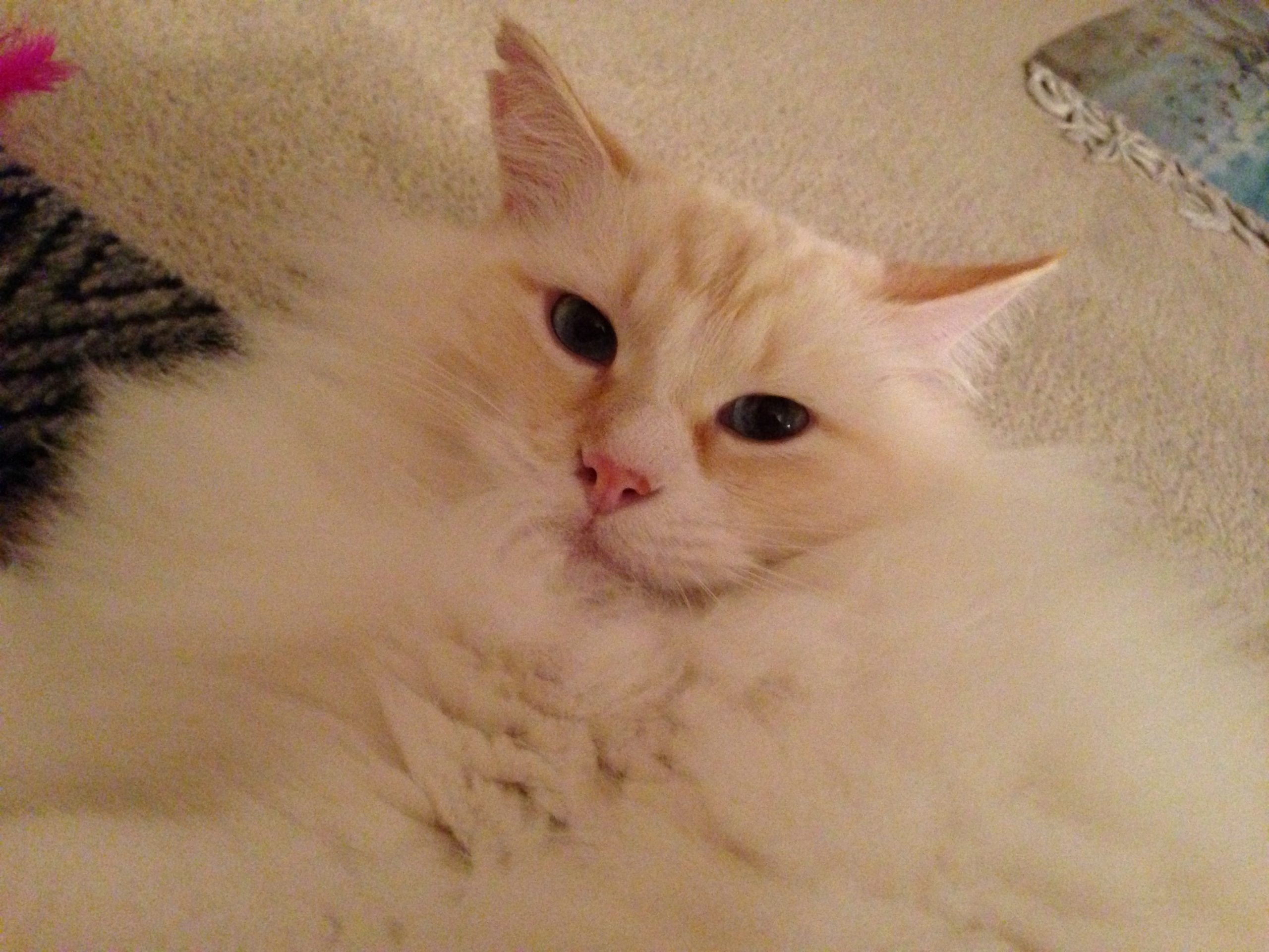 Flame Point Kitten Symba (flame point) loved by