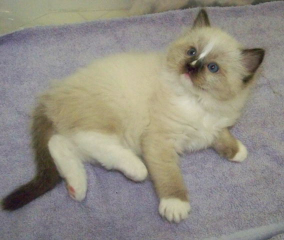 Seal Mitted Ragdoll cat with a blaze, Charlie