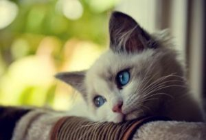 Astrid, a Blue Bicolor Ragdoll. Photo by Narelle