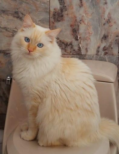 Bicolor Cat White Tip