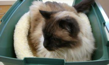 How to Bring Your Cat to the Vet Rags in Pet Carrier at Vet