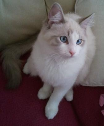 Mustafa Muezza a Lilac Bi Colour Lynx owned by Lora Falconer2 Lilac Ragdoll