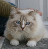 Silver Dollar, a chocolate lynx mitted with Blaze, owned and breed by Sue Villareal