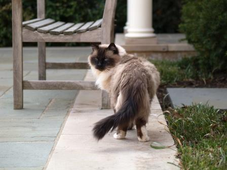 Ragdoll cat common health issues