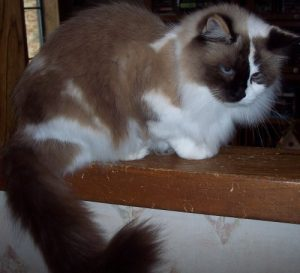 annabelle 300x273 Merlins Hope: Current Available Ragdoll Rescues