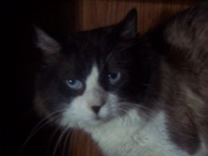 bradenface 300x225 Merlins Hope: Current Available Ragdoll Rescues