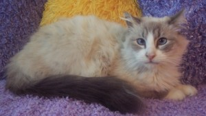 theabest 300x169 Merlins Hope: Current Available Ragdoll Rescues