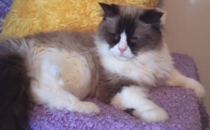 Ragdoll Rescue - A Plea For Help