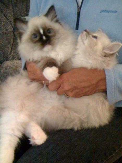 One Ragdoll Kitten Vs Two Ragdoll Kittens