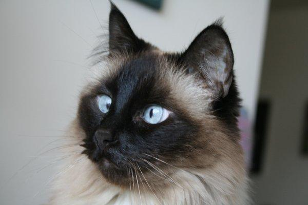 LucyPic032309 Lucy   Ragdoll of the Week
