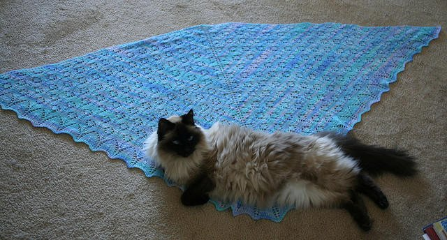 LucywithKnitting Lucy   Ragdoll of the Week