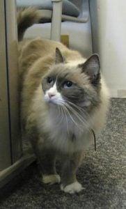 Blue Bi Color Ragdoll cat