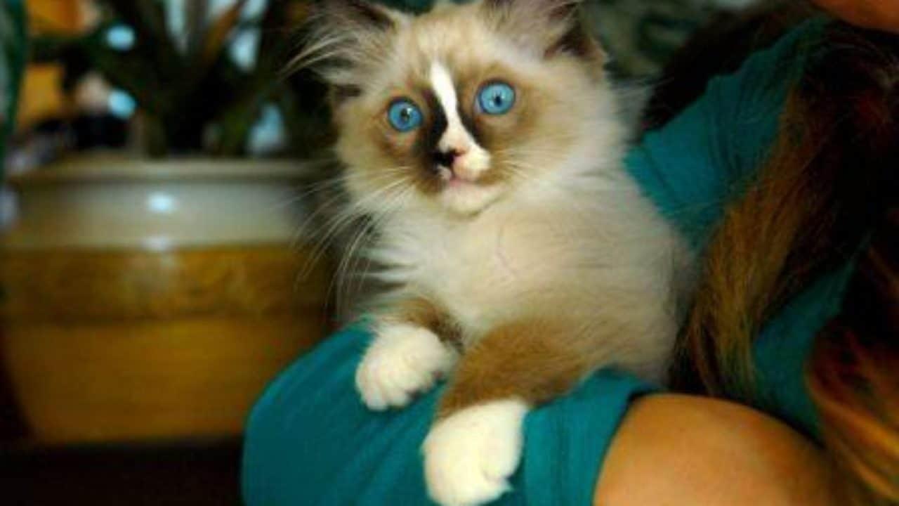 Recommended Ragdoll Breeders | Best Ragdoll Cat Breeders