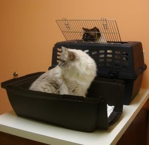 Cat Health Insurance – Do You Have It for Your Ragdoll Cat?