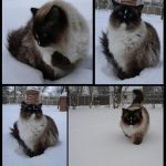 Ragdoll Cats in the Snow