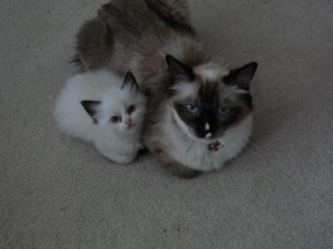 Rainy as a kitten with her mom, Angelkissed Ragdolls Cheetah Monkey
