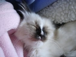 Hobbs Introducing Ragdoll Kitten of the Month!
