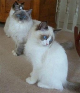RockNRagz Ragdoll Cats