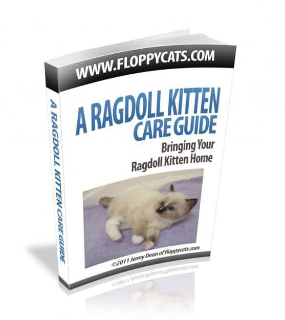 A Ragdoll Kitten Care Guide: Bringing Your Ragdoll Kitten Home