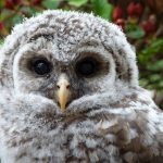 Ragdoll Cats and the Barred Owlet