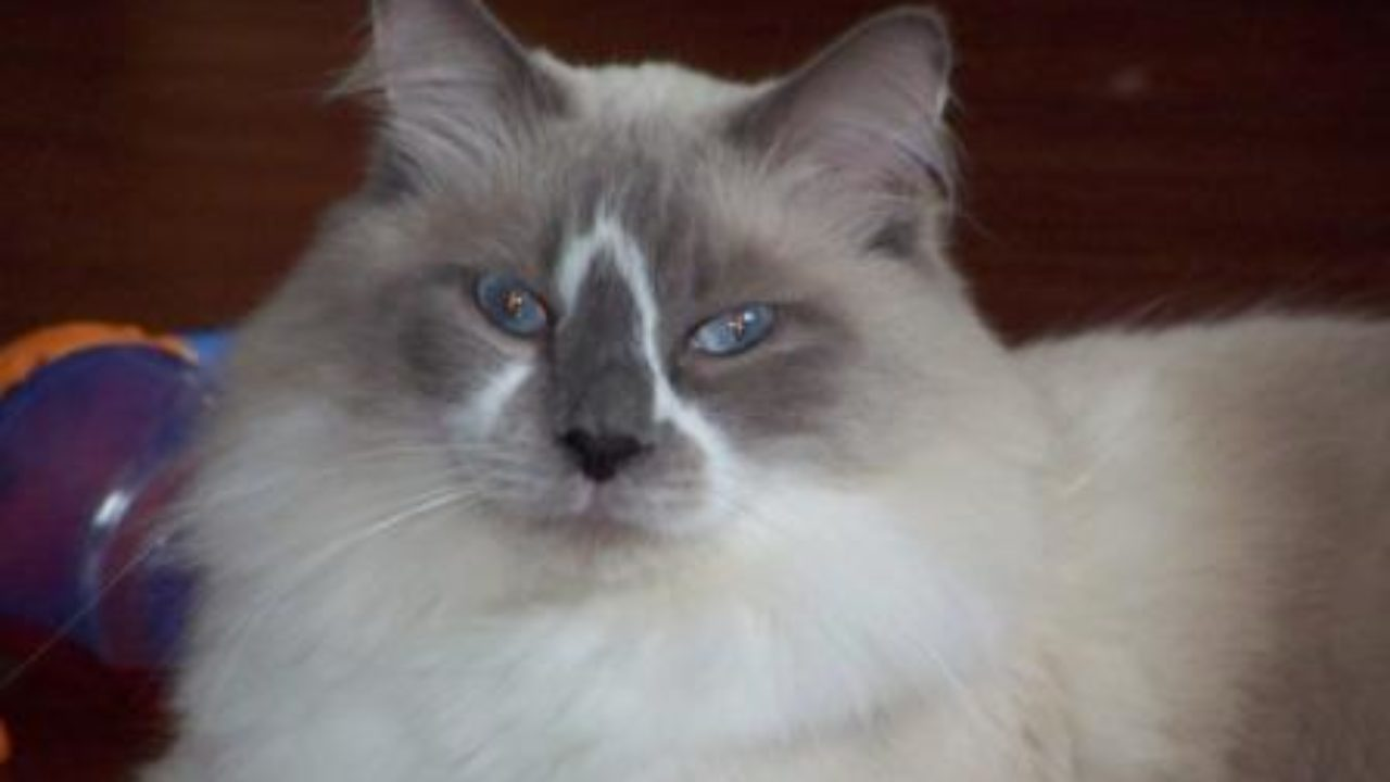 Ragdoll Cats with Blazes: Pictures of Ragdoll Cats with Blazes