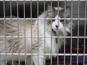 Ragdoll Rescue: List of Resources to Help Find a Ragdoll Cat Rescue