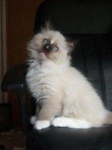 Leo as a kitten