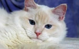 Meriwidoz Braden 300x187 Ragdoll Cats with Blazes