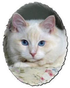 Meriwidoz Braden2 239x300 Ragdoll Cats with Blazes