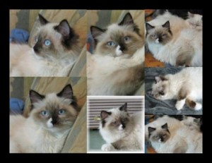 Meriwidoz Cinders 300x231 Ragdoll Cats with Blazes