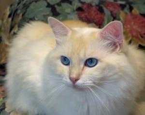 Meriwidoz Durango 300x238 Ragdoll Cats with Blazes