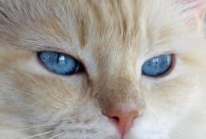 Meriwidoz Durango2 300x202 Ragdoll Cats with Blazes