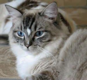 Meriwidoz Shane 300x273 Ragdoll Cats with Blazes