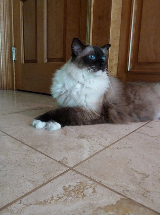 Caymus Crossed Paws Pictures of Ragdoll Cats With Their Paws Crossed