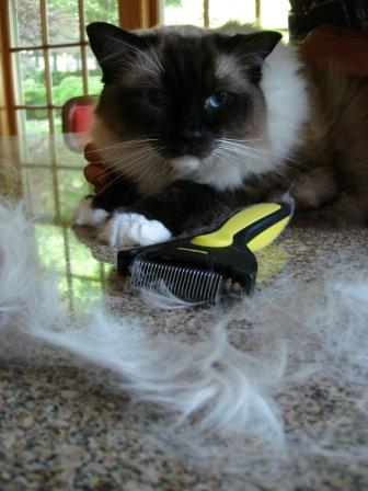 How Much Do Ragdoll Cats Shed