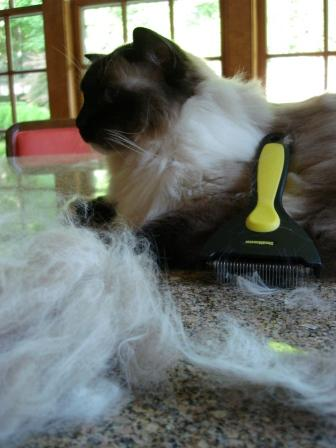 Ragdoll cats and excessive shedding