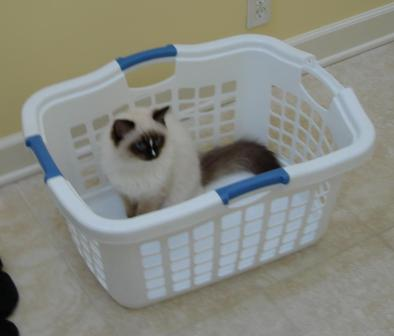 Charlie in a Laundry Basket Pictures of Ragdoll Cats in Laundry Baskets