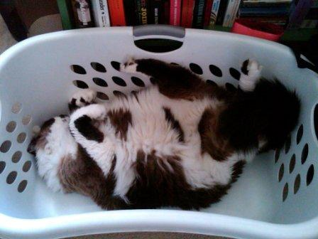 Moon owned by Hugo Chavez in a Laundry Basket Pictures of Ragdoll Cats in Laundry Baskets