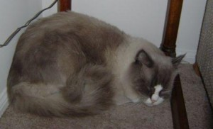Sebastian a Hermaphrodite Ragdoll Cat2 300x182 Sebastian, a Hermaphrodite Ragdoll Cat   Reader Suggestions Needed!!
