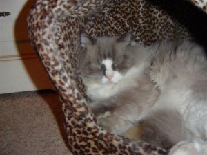 Sebastian a Hermaphrodite Ragdoll Cat3 300x224 Sebastian, a Hermaphrodite Ragdoll Cat   Reader Suggestions Needed!!