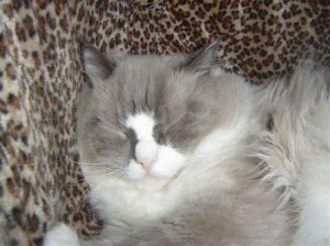 Sebastian a Hermaphrodite Ragdoll Cat4 300x224 Sebastian, a Hermaphrodite Ragdoll Cat   Reader Suggestions Needed!!