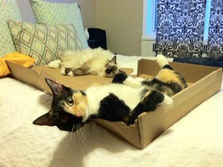 Taro and Tonks (tortie DSH rescue) in a box by Rebekah Chow