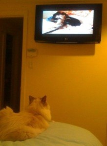 Does Your Ragdoll Cat Watch Tv