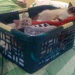 Trigg and Charlie in a Laundry Basket as Kittens 1-21-10