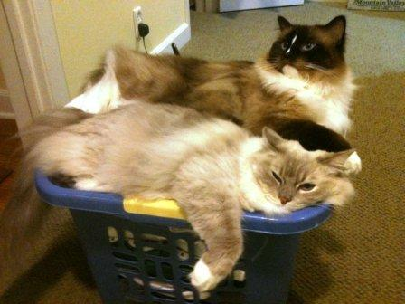 Trigg and Charlie in a Laundry Basket Pictures of Ragdoll Cats in Laundry Baskets