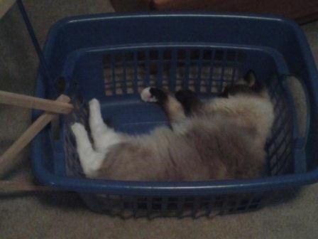 15 month old Ollie napping in the laundry basket loved by Jenn Pictures of Ragdoll Cats in Laundry Baskets