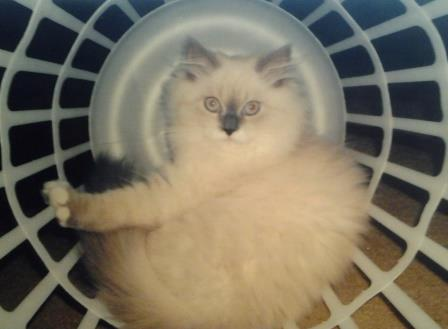 20130428 142724 Pictures of Ragdoll Cats in Laundry Baskets